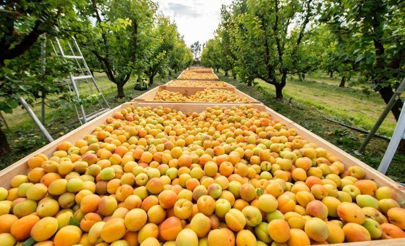 Apricot harvest Shepparton